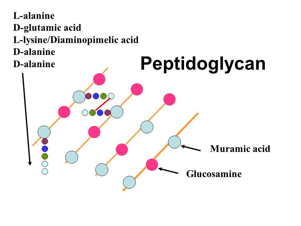 Peptidoglycan Muramic acid Glucosamine L-alanine D-glutamic acid L-lysine/Diaminopimelic acid D-alanine