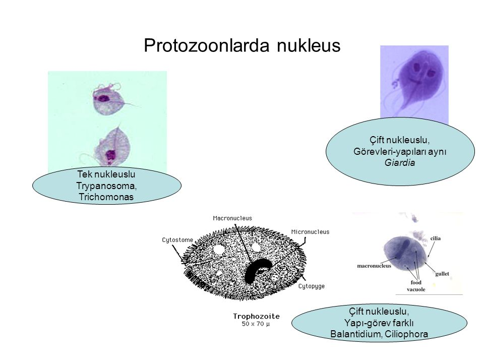 Protozoonlarda nukleus Tek nukleuslu Trypanosoma, Trichomonas Çift nukleuslu, Görevleri-yapıları aynı Giardia Çift nukleuslu, Yapı-görev farklı Balant