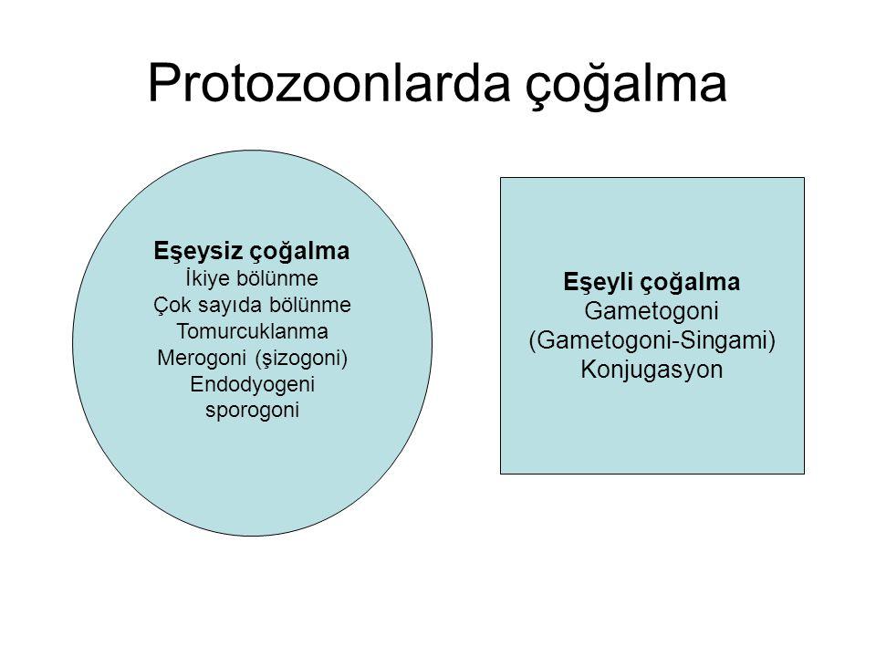 Protozoonlarda çoğalma Eşeysiz çoğalma İkiye bölünme Çok sayıda bölünme Tomurcuklanma Merogoni (şizogoni) Endodyogeni sporogoni Eşeyli çoğalma Gametog