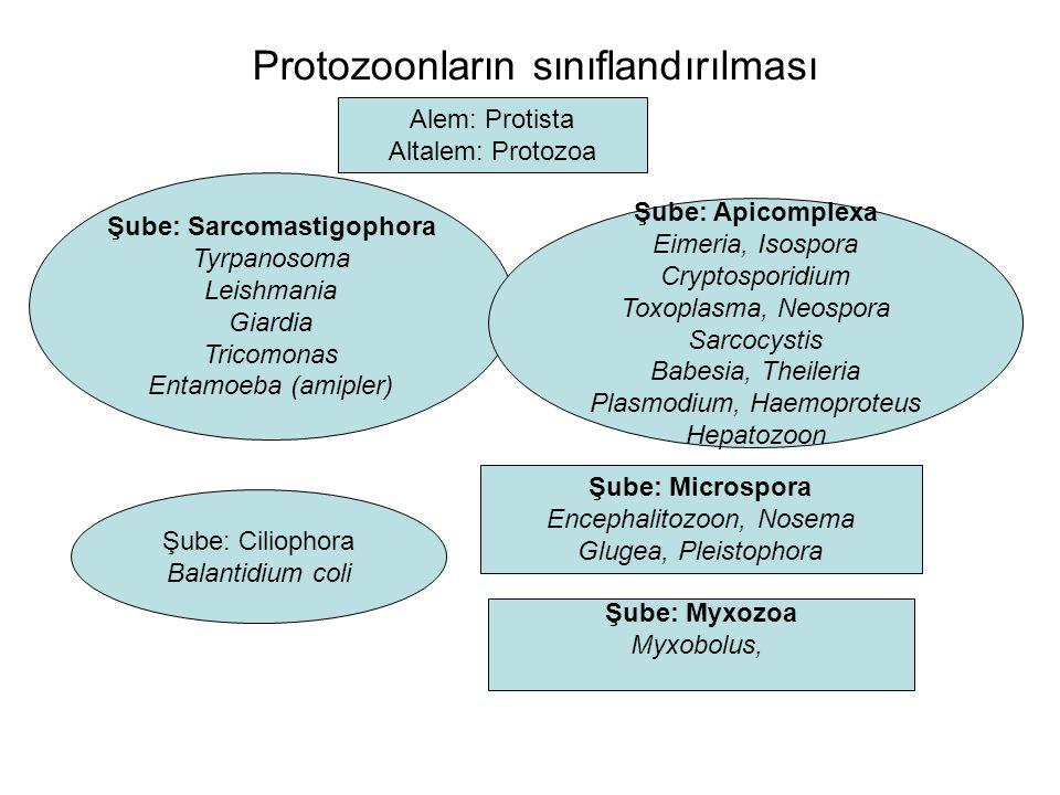 Protozoonların sınıflandırılması Alem: Protista Altalem: Protozoa Şube: Sarcomastigophora Tyrpanosoma Leishmania Giardia Tricomonas Entamoeba (amipler