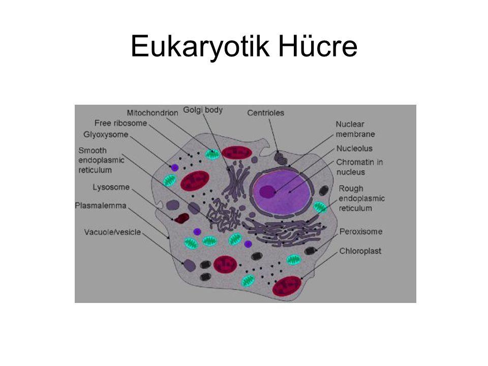 Eukaryotik Hücre
