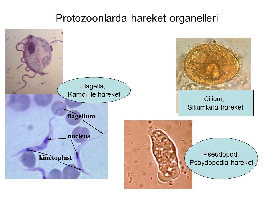 Protozoonlarda hareket organelleri Flagella, Kamçı ile hareket Cilium, Siliumlarla hareket Pseudopod, Psöydopodla hareket