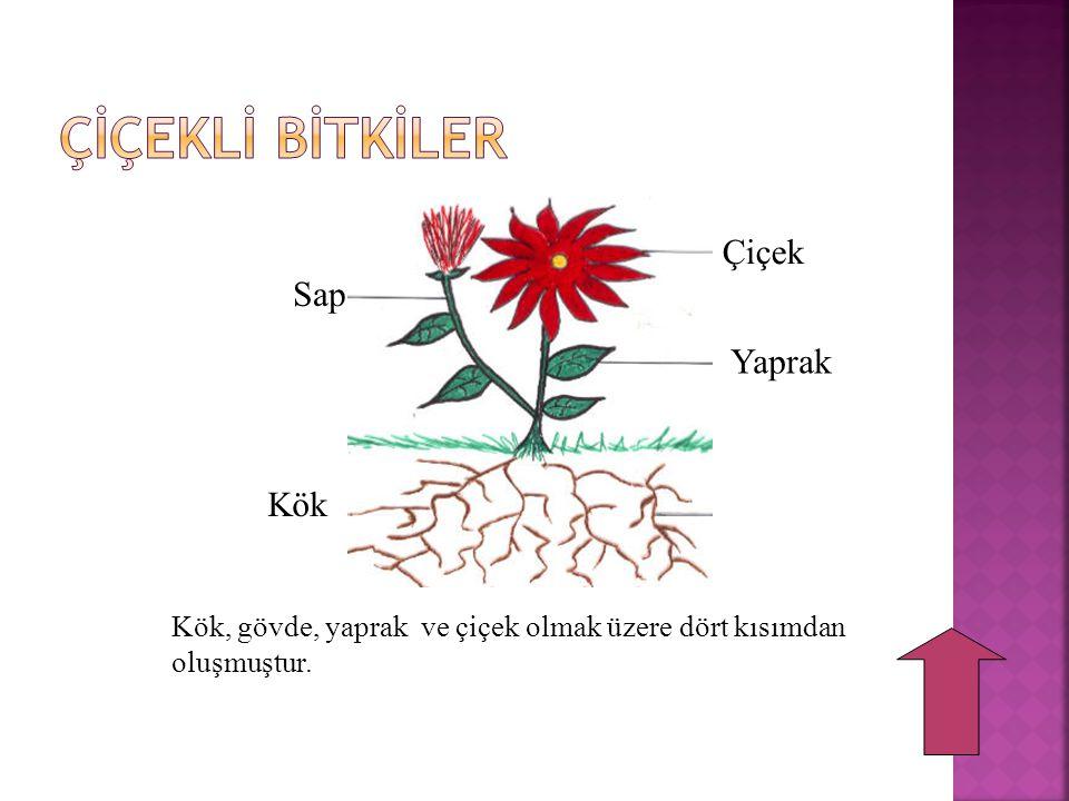 Sap Kök Çiçek Yaprak Kök, gövde, yaprak ve çiçek olmak üzere dört kısımdan oluşmuştur.