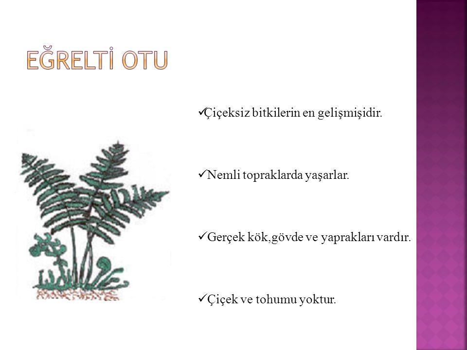 Ç içeksiz bitkilerin en gelişmişidir. N emli topraklarda yaşarlar. G erçek kök,gövde ve yaprakları vardır. Ç içek ve tohumu yoktur.