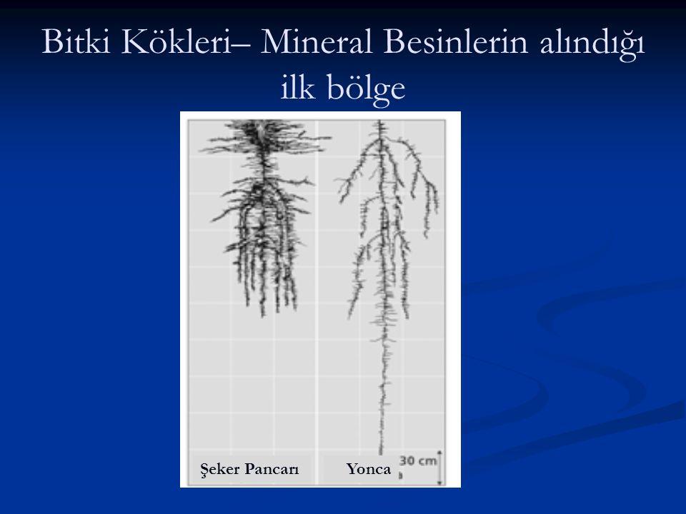Bitki Kökleri– Mineral Besinlerin alındığı ilk bölge Şeker PancarıYonca