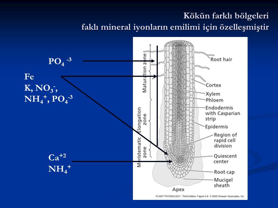 Kökün farklı bölgeleri faklı mineral iyonların emilimi için özelleşmiştir PO 4 -3 Fe K, NO 3 -, NH 4 +, PO 4 -3 Ca +2 NH 4 +