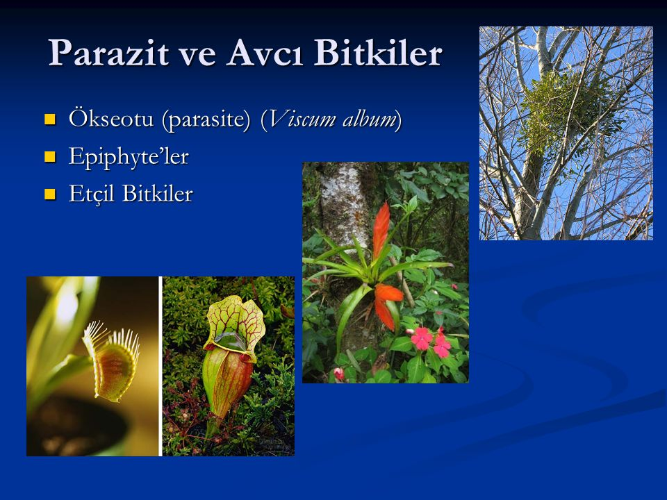 Parazit ve Avcı Bitkiler Ökseotu (parasite) (Viscum album) Ökseotu (parasite) (Viscum album) Epiphyte'ler Epiphyte'ler Etçil Bitkiler Etçil Bitkiler