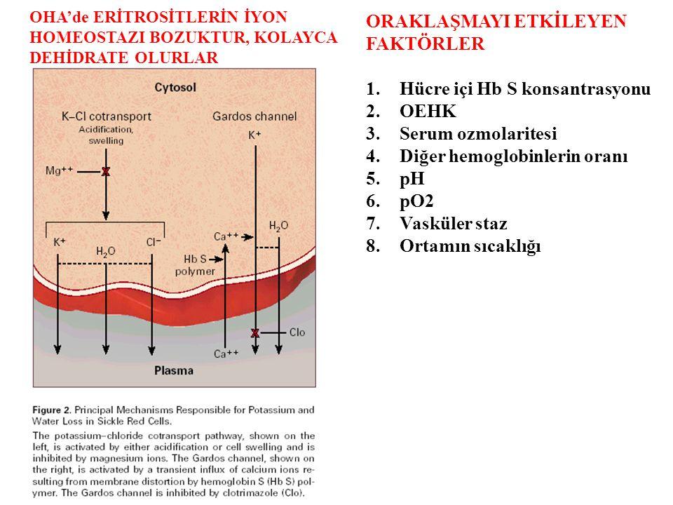 OHA'de ERİTROSİTLERİN İYON HOMEOSTAZI BOZUKTUR, KOLAYCA DEHİDRATE OLURLAR ORAKLAŞMAYI ETKİLEYEN FAKTÖRLER 1.Hücre içi Hb S konsantrasyonu 2.OEHK 3.Serum ozmolaritesi 4.Diğer hemoglobinlerin oranı 5.pH 6.pO2 7.Vasküler staz 8.Ortamın sıcaklığı
