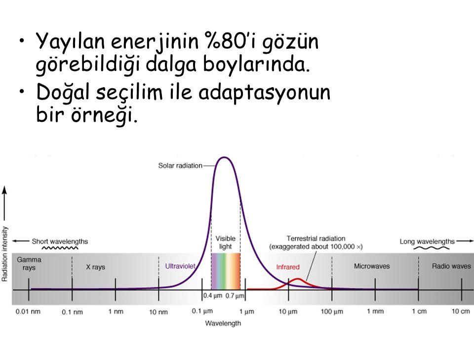 Yayılan enerjinin %80'i gözün görebildiği dalga boylarında. Doğal seçilim ile adaptasyonun bir örneği.