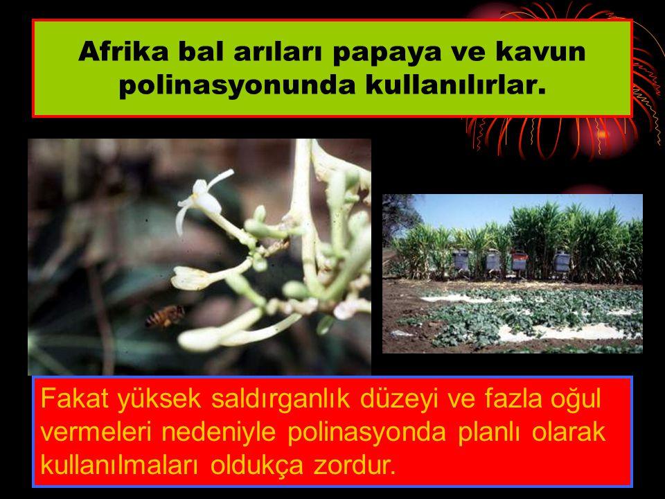 Afrika bal arıları papaya ve kavun polinasyonunda kullanılırlar. Fakat yüksek saldırganlık düzeyi ve fazla oğul vermeleri nedeniyle polinasyonda planl