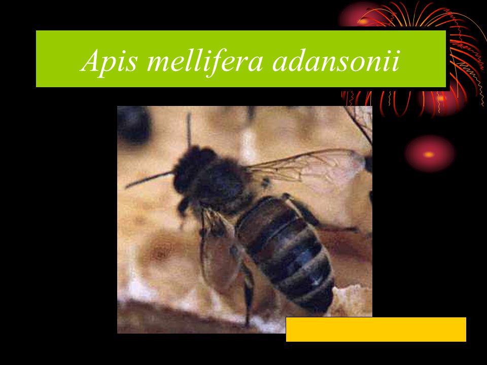 Apis mellifera adansonii Afrika Arısı / Katil Arılar