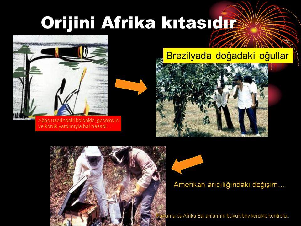 Orijini Afrika kıtasıdır Brezilyada doğadaki oğullar Amerikan arıcılığındaki değişim… Ağaç üzerindeki kolonide, geceleyin ve körük yardımıyla bal hasa