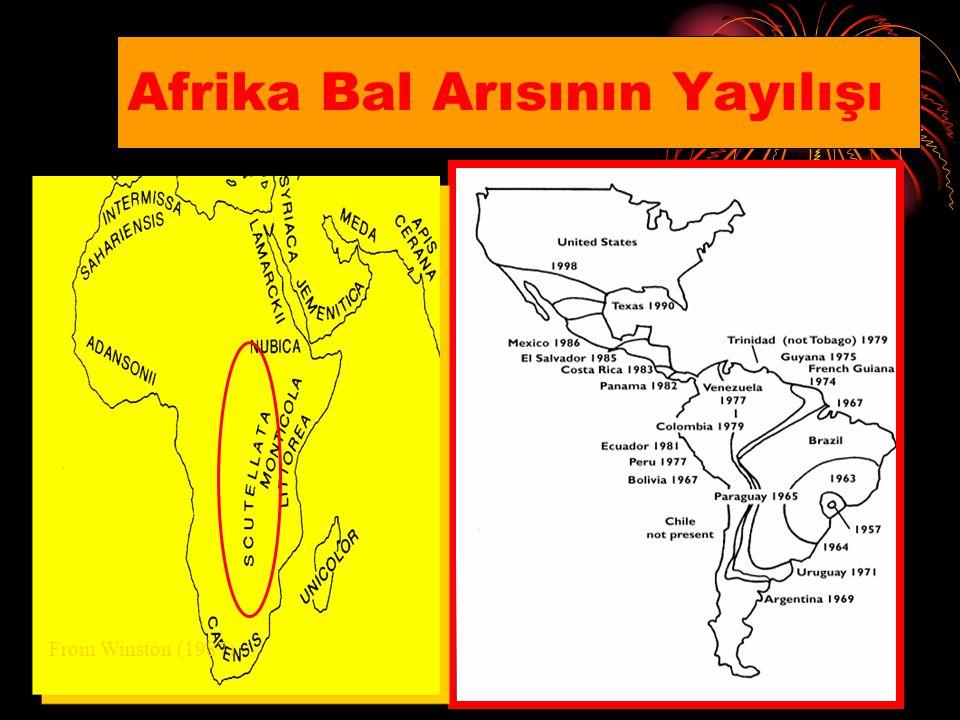 ABD'de Afrika Bal Arıları XXX
