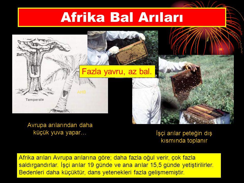Afrika Bal Arıları AHB Avrupa arılarından daha küçük yuva yapar… İşçi arılar peteğin dış kısmında toplanır Afrika arıları Avrupa arılarına göre; daha