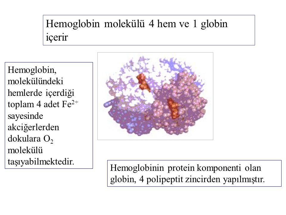 Hemoglobin molekülü 4 hem ve 1 globin içerir Hemoglobin, molekülündeki hemlerde içerdiği toplam 4 adet Fe 2+ sayesinde akciğerlerden dokulara O 2 mole