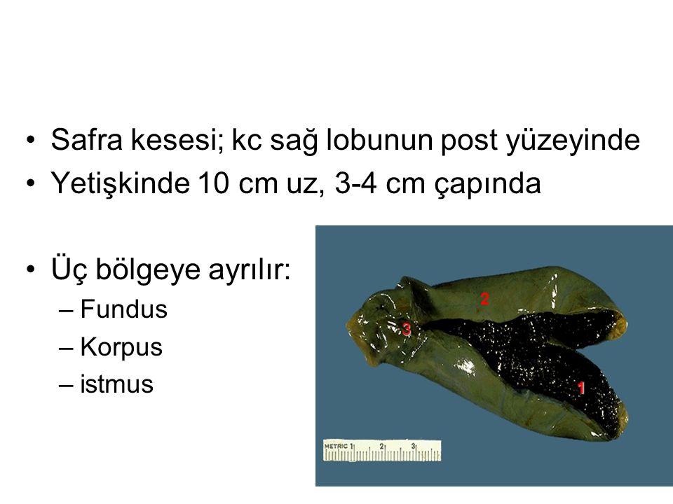 2 Safra kesesi; kc sağ lobunun post yüzeyinde Yetişkinde 10 cm uz, 3-4 cm çapında Üç bölgeye ayrılır: –Fundus –Korpus –istmus 1 2 3