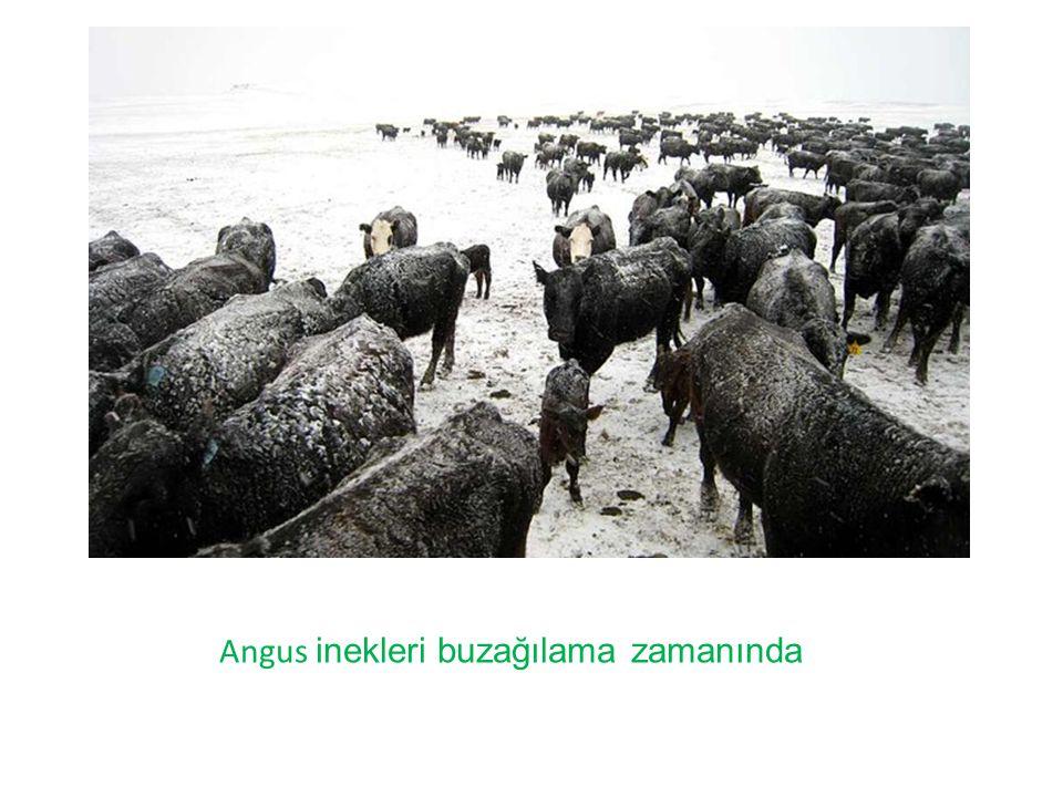 Kış boyunca Angus Buzağıları