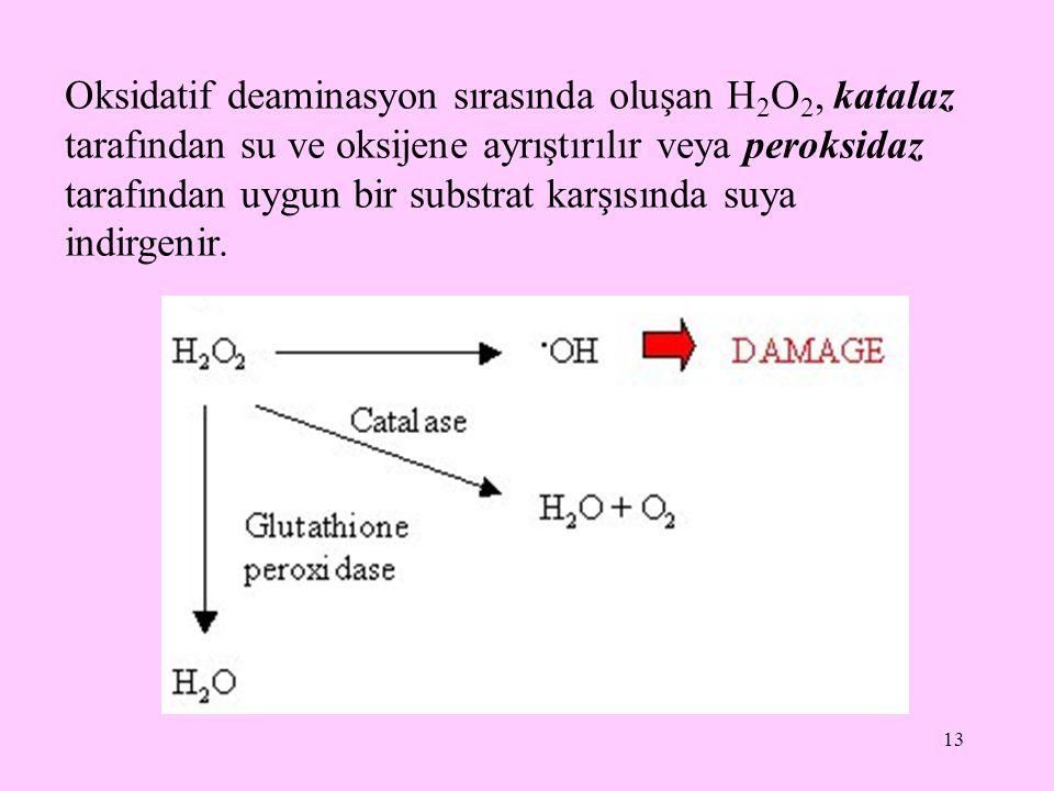 13 Oksidatif deaminasyon sırasında oluşan H 2 O 2, katalaz tarafından su ve oksijene ayrıştırılır veya peroksidaz tarafından uygun bir substrat karşıs