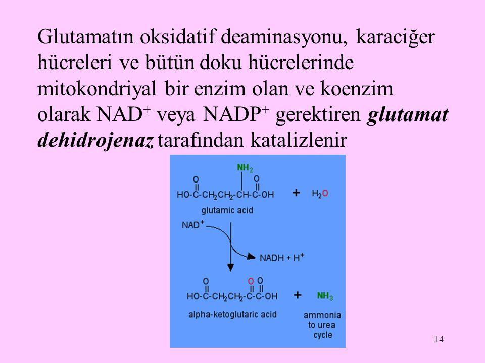 14 Glutamatın oksidatif deaminasyonu, karaciğer hücreleri ve bütün doku hücrelerinde mitokondriyal bir enzim olan ve koenzim olarak NAD + veya NADP +