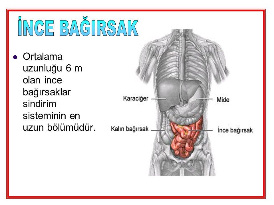 Ortalama uzunluğu 6 m olan ince bağırsaklar sindirim sisteminin en uzun bölümüdür.
