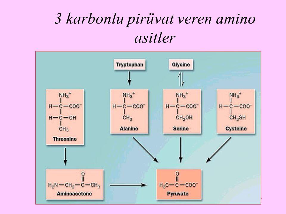 17 3 karbonlu pirüvat veren amino asitler