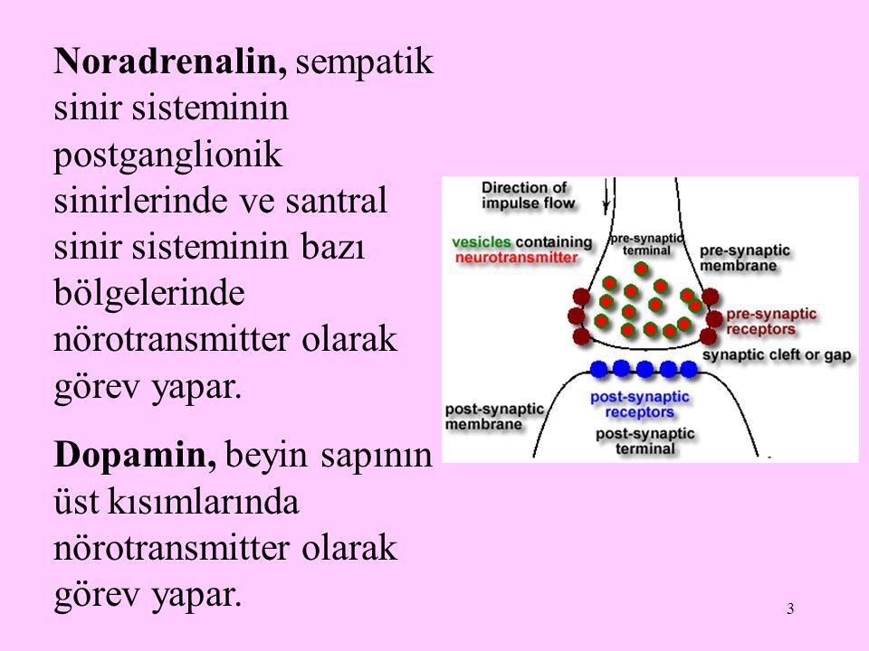 3 Noradrenalin, sempatik sinir sisteminin postganglionik sinirlerinde ve santral sinir sisteminin bazı bölgelerinde nörotransmitter olarak görev yapar