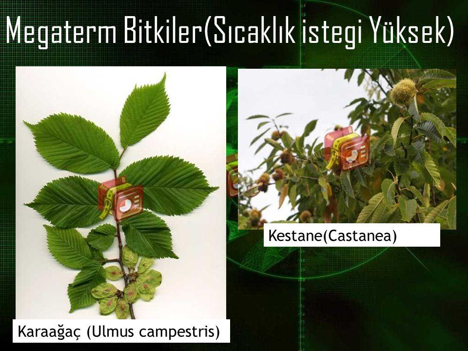 Megaterm Bitkiler(Sıcaklık istegi Yüksek) Karaağaç (Ulmus campestris) Kestane(Castanea)