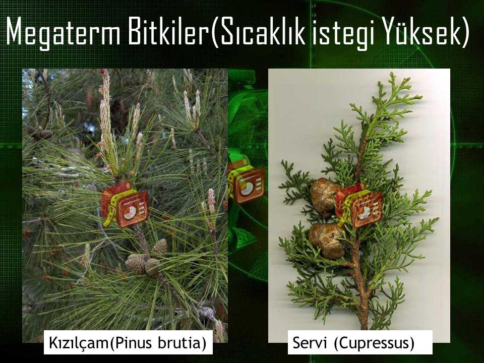Megaterm Bitkiler(Sıcaklık istegi Yüksek) Kızılçam(Pinus brutia)Servi (Cupressus)