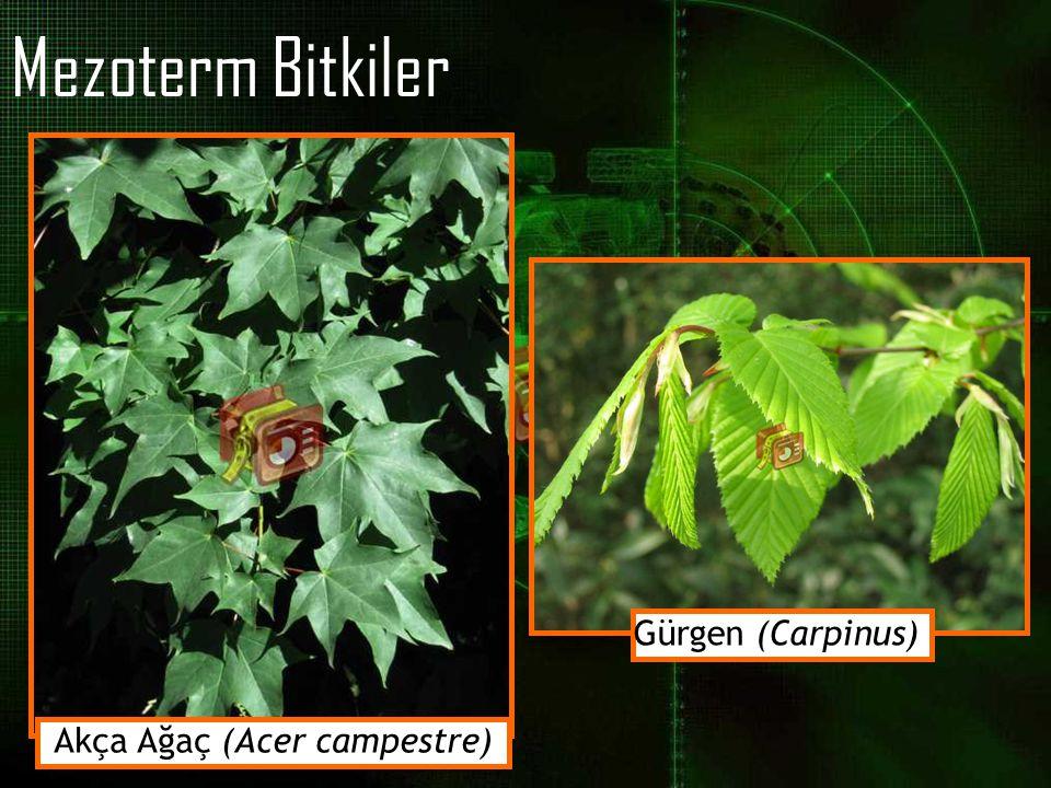 Mezoterm Bitkiler Akça Ağaç (Acer campestre) Gürgen (Carpinus)