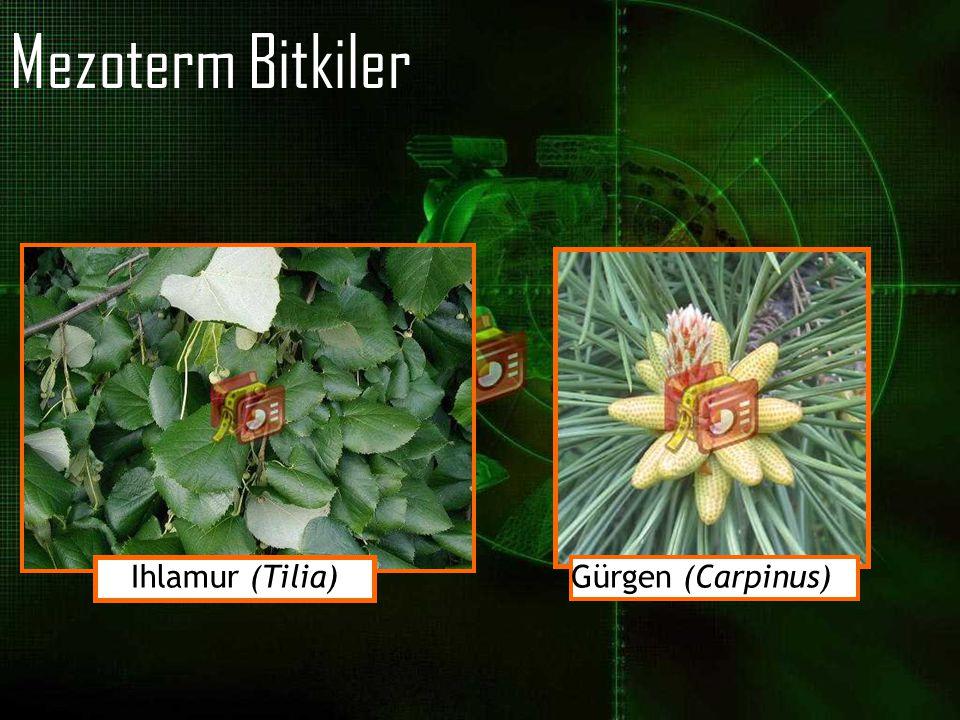 Mezoterm Bitkiler Ihlamur (Tilia) Gürgen (Carpinus)