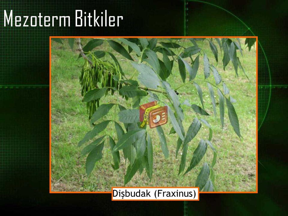 Mezoterm Bitkiler Dişbudak (Fraxinus)