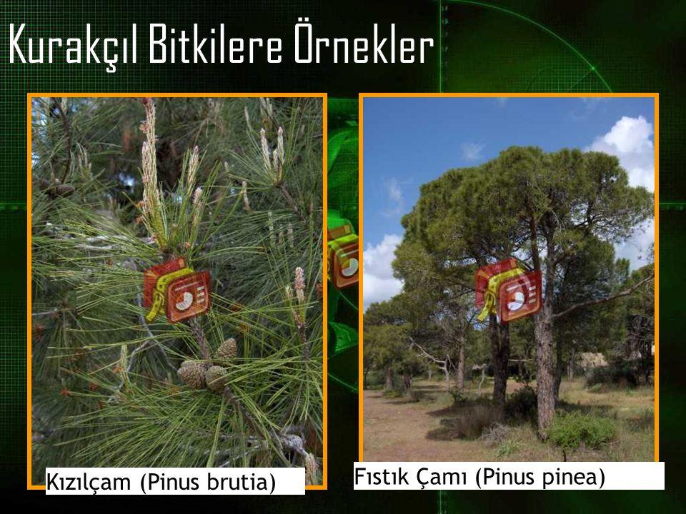 Kurakçıl Bitkilere Örnekler Kızılçam (Pinus brutia) Fıstık Çamı (Pinus pinea)