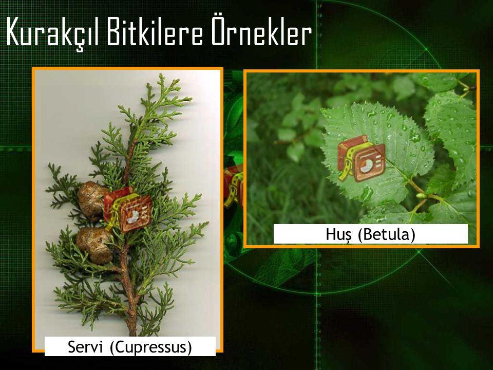 Kurakçıl Bitkilere Örnekler Servi (Cupressus) Huş (Betula)