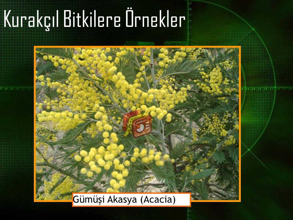 Kurakçıl Bitkilere Örnekler Gümüşi Akasya (Acacia)