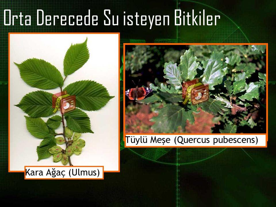 Orta Derecede Su isteyen Bitkiler Kara Ağaç (Ulmus) Tüylü Meşe (Quercus pubescens)