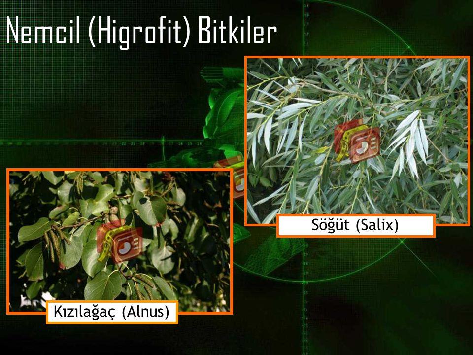Nemcil (Higrofit) Bitkiler Kızılağaç (Alnus) Söğüt (Salix)