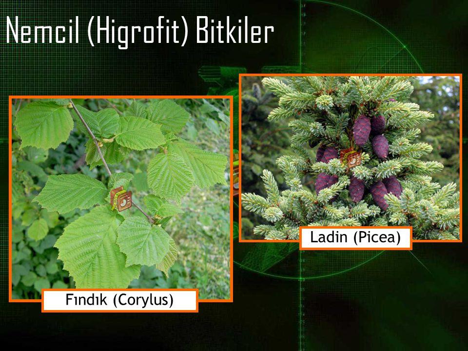 Nemcil (Higrofit) Bitkiler Fındık (Corylus) Ladin (Picea)