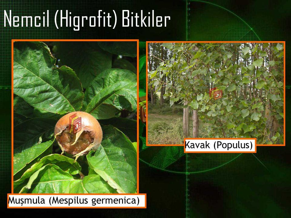 Nemcil (Higrofit) Bitkiler Muşmula (Mespilus germenica) Kavak (Populus)