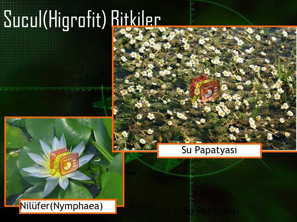 Sucul(Higrofit) Bitkiler Nilüfer(Nymphaea) Su Papatyası