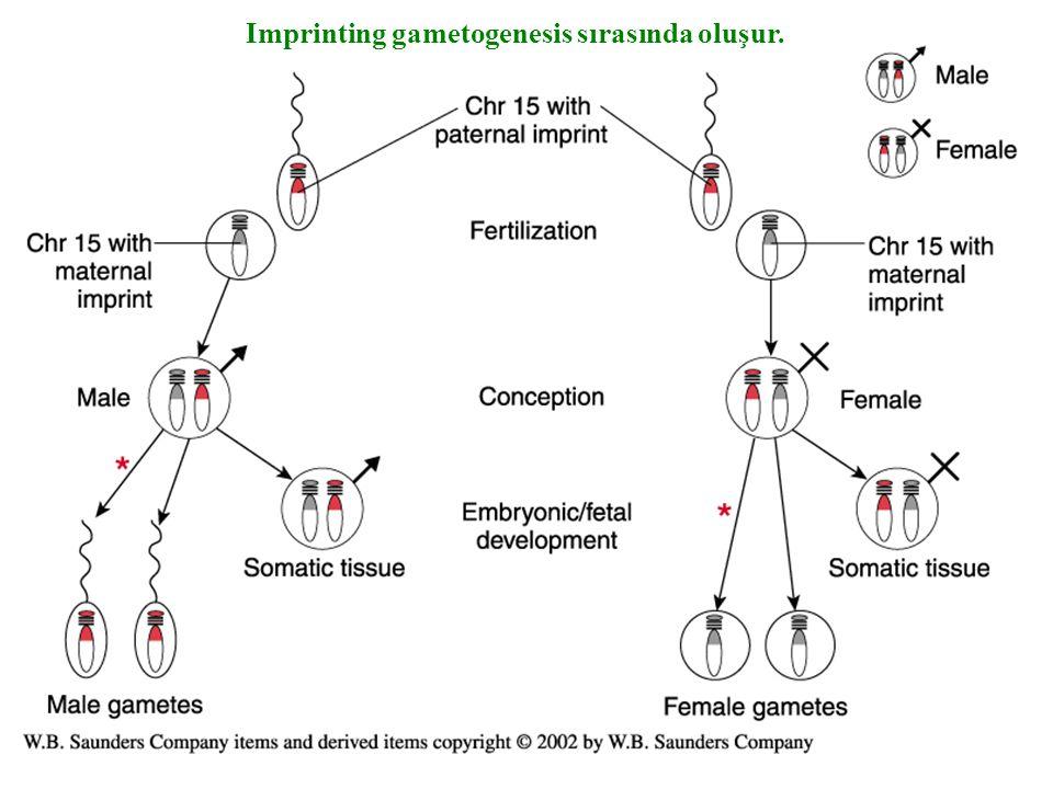 Imprinting gametogenesis sırasında oluşur.