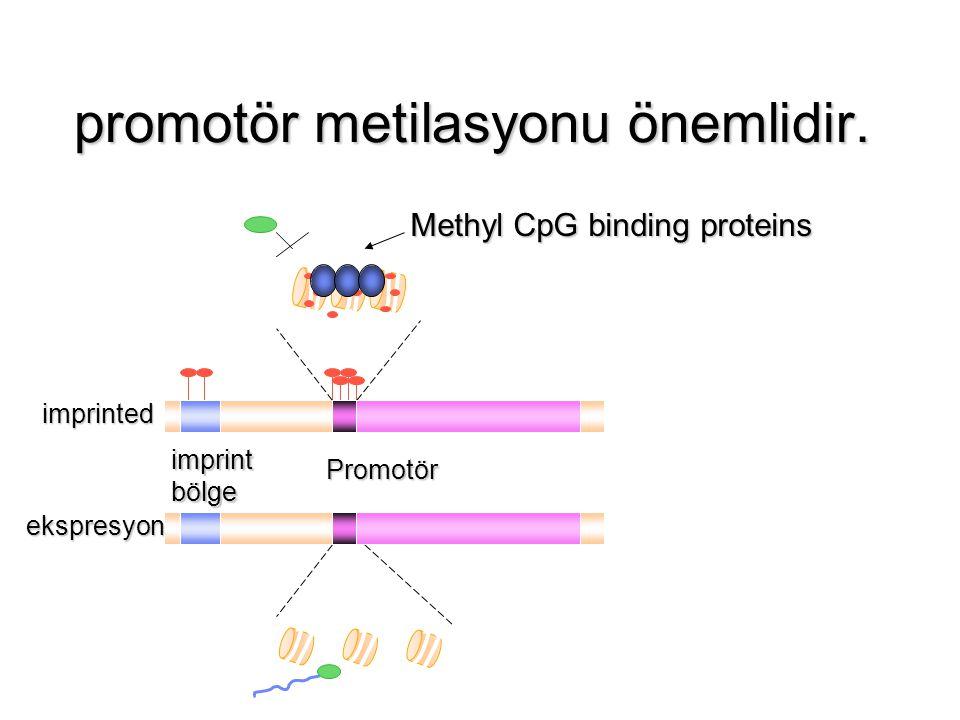 promotör metilasyonu önemlidir. imprint bölge Promotör imprinted ekspresyon Methyl CpG binding proteins