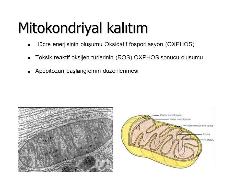 Hücre enerjisinin oluşumu Oksidatif fosporilasyon (OXPHOS) Toksik reaktif oksijen türlerinin (ROS) OXPHOS sonucu oluşumu Apopitozun başlangıcının düze