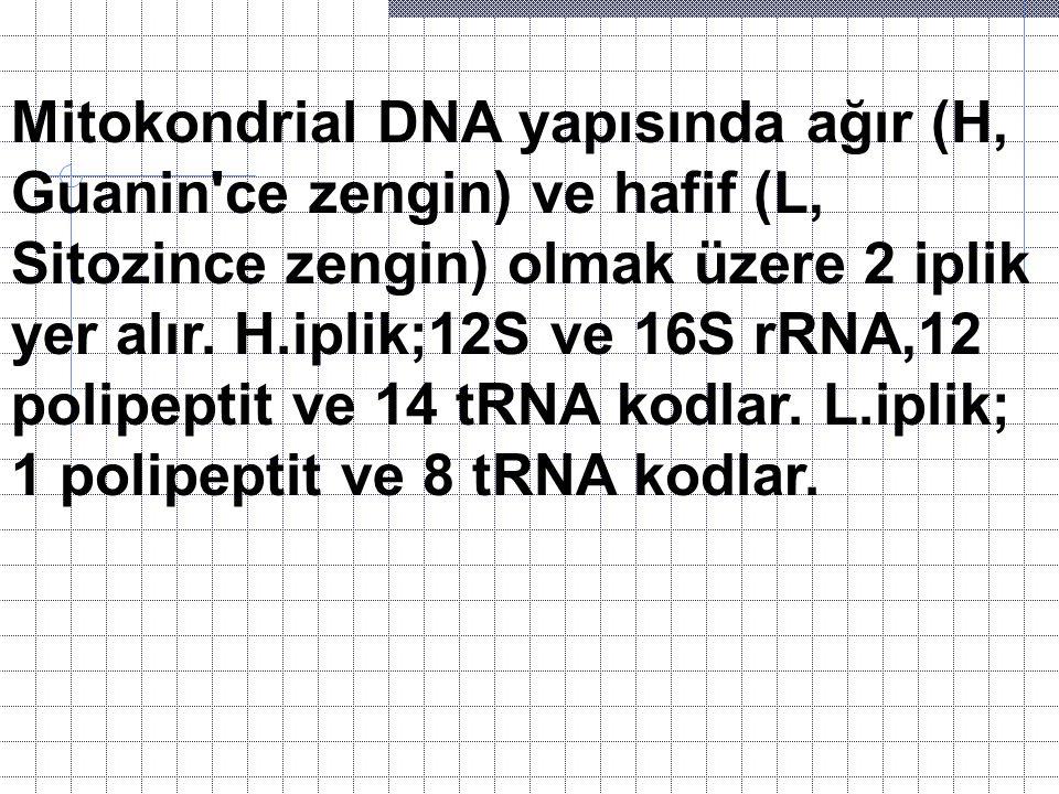 Mitokondrial DNA yapısında ağır (H, Guanin'ce zengin) ve hafif (L, Sitozince zengin) olmak üzere 2 iplik yer alır. H.iplik;12S ve 16S rRNA,12 polipept