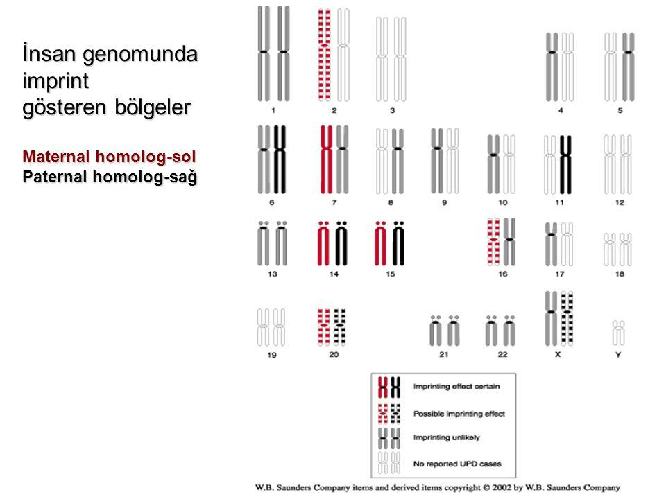 İnsan genomunda imprint gösteren bölgeler Maternal homolog-sol Paternal homolog-sağ