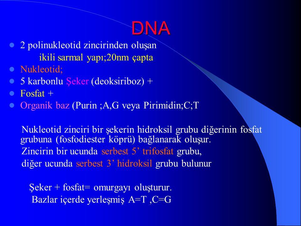 DNA 2 polinukleotid zincirinden oluşan ikili sarmal yapı;20nm çapta Nukleotid; 5 karbonlu Şeker (deoksiriboz) + Fosfat + Organik baz (Purin ;A,G veya