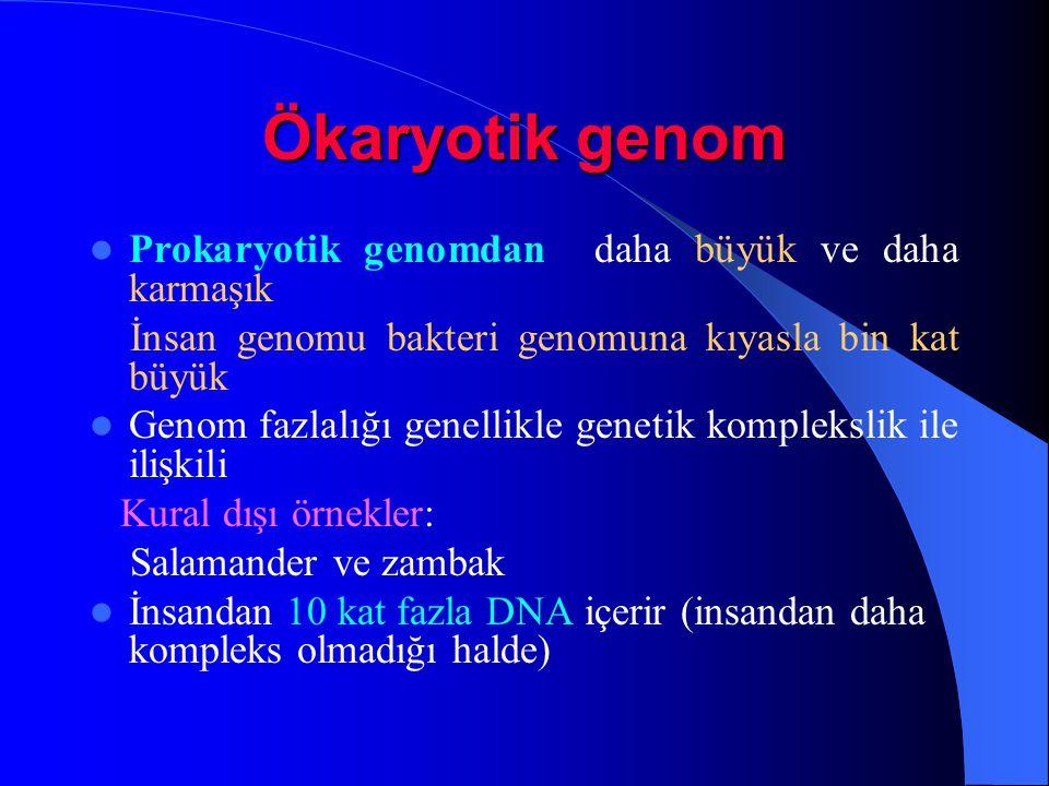 Ökaryotik genom Prokaryotik genomdan daha büyük ve daha karmaşık İnsan genomu bakteri genomuna kıyasla bin kat büyük Genom fazlalığı genellikle geneti