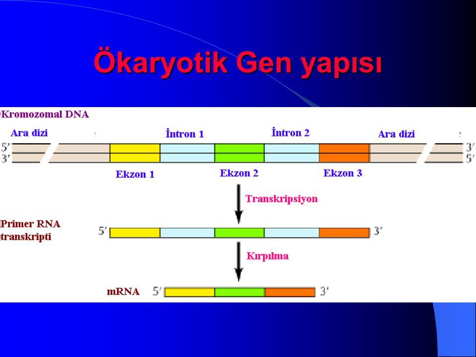 Ökaryotik Gen yapısı Kesip çıkarma