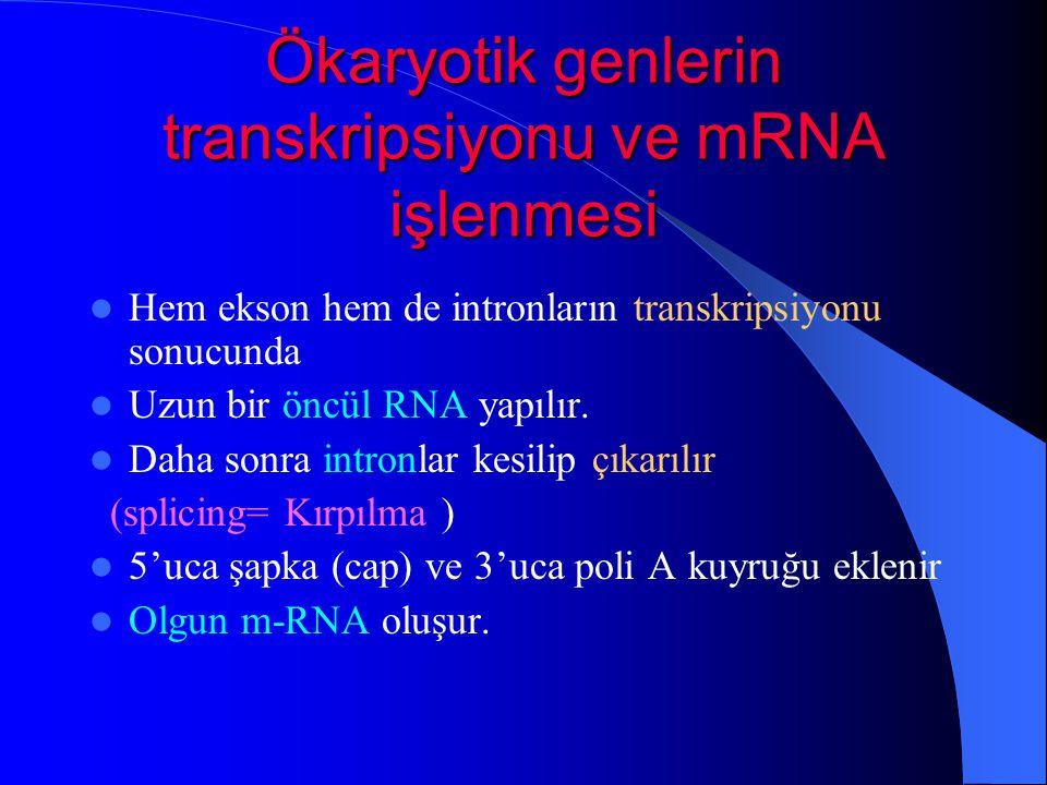 Ökaryotik genlerin transkripsiyonu ve mRNA işlenmesi Hem ekson hem de intronların transkripsiyonu sonucunda Uzun bir öncül RNA yapılır. Daha sonra int