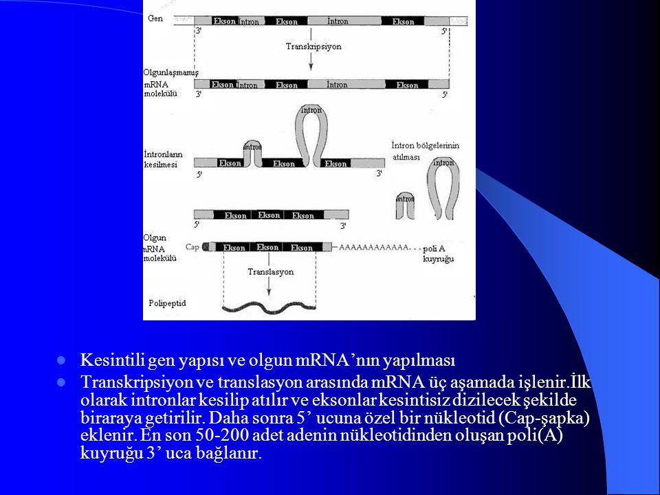 Kesintili gen yapısı ve olgun mRNA'nın yapılması Transkripsiyon ve translasyon arasında mRNA üç aşamada işlenir.İlk olarak intronlar kesilip atılır ve