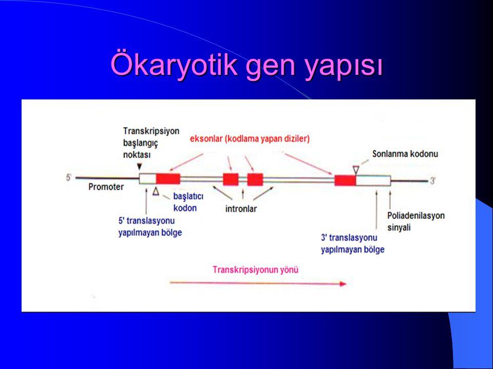 Ökaryotik gen yapısı